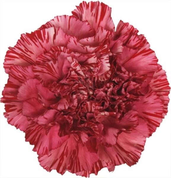 <h4>Dianthus st. Viper Wine</h4>