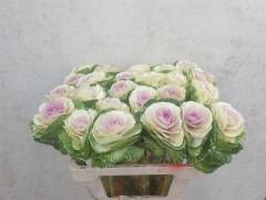 <h4>Brassica Bicolour</h4>