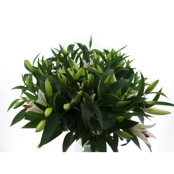 <h4>Bouquet Mono Lelie Oriental Wit x3 60cm</h4>