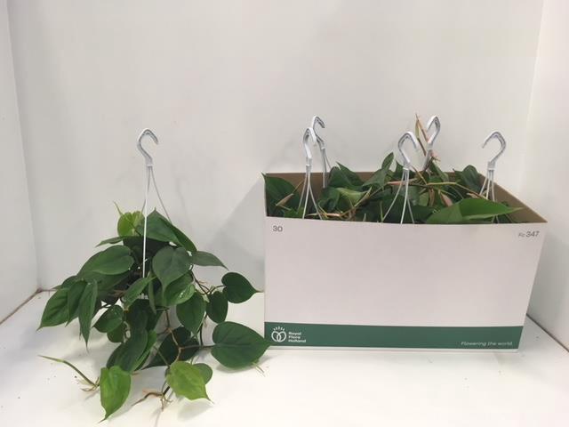 <h4>Philodendron Scandens 17Ø 40cm</h4>