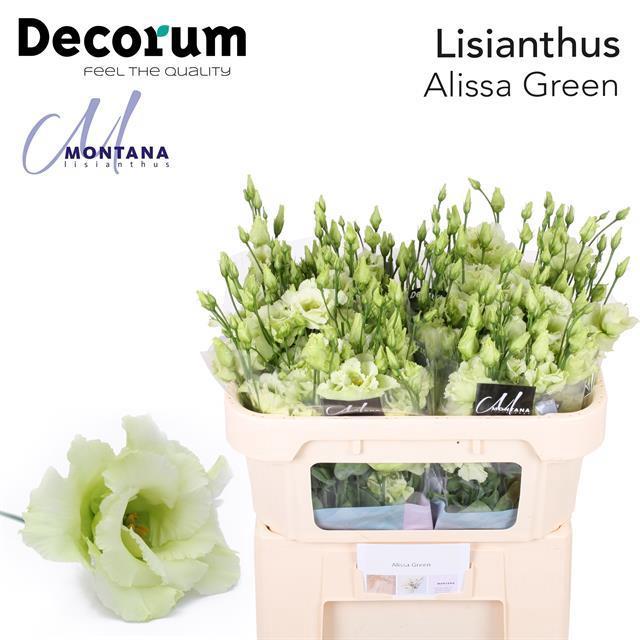 <h4>EUS G ALISSA GREEN</h4>