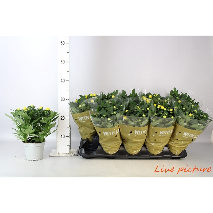 <h4>Chrysanthemum Ind. Geel</h4>