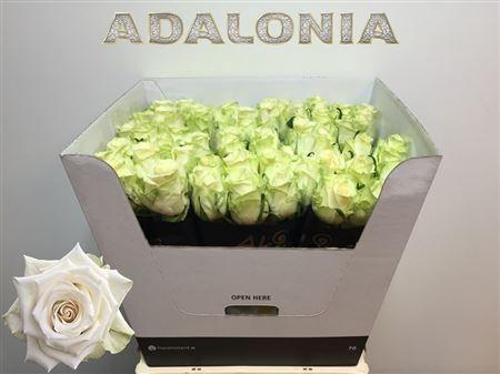 <h4>Rs gr Adalonia</h4>
