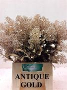 <h4>Skimmia Antique oro</h4>