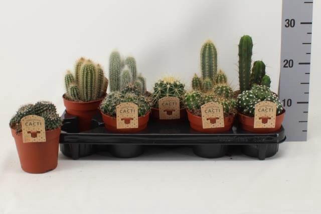 <h4>Cactus Gemengd</h4>
