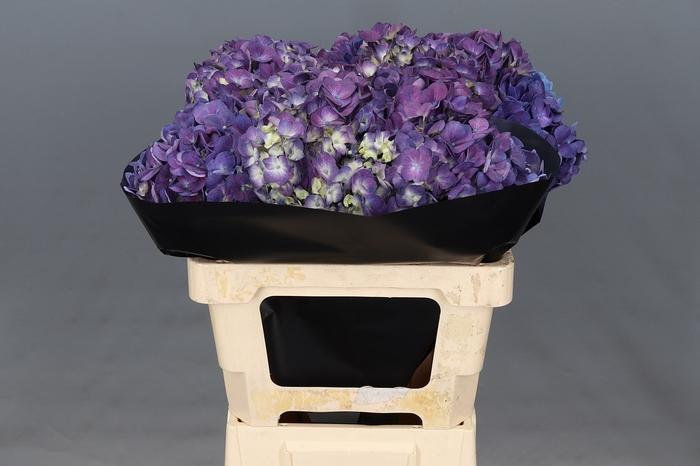 <h4>Hydrangea Purple</h4>