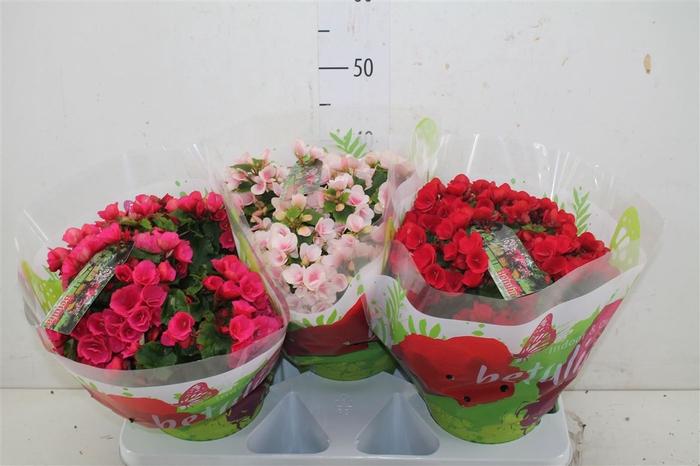 <h4>Begonia En Betulia Gemengd</h4>