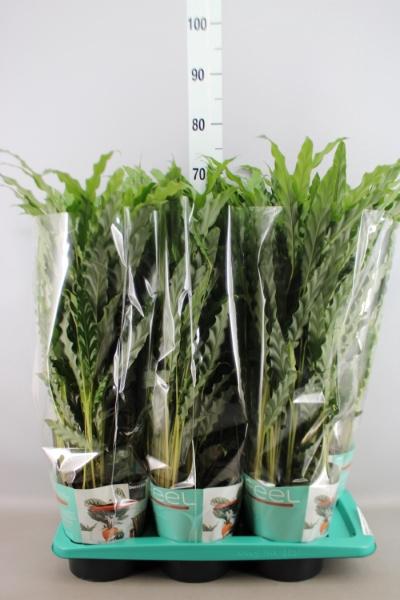 <h4>Calathea rufibarba 'Blue Grass'</h4>