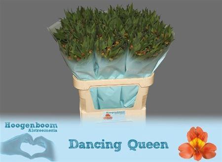 <h4>Alstr Dancing Queen</h4>
