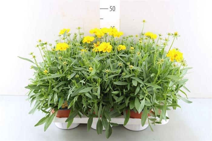 <h4>Coreopsis Grandiflora 'super Star'</h4>