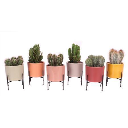 <h4>Cactus Tendance Rekje 10,5 Cm</h4>