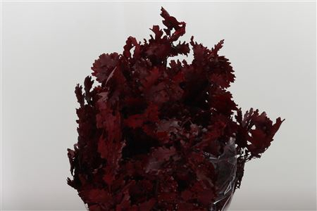 <h4>Dried Beech Red Wine Preserved</h4>