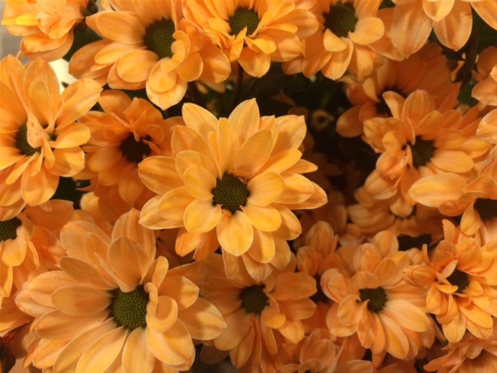<h4>Chrysanthemum SA   ...colored H%</h4>