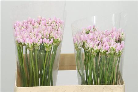 <h4>Allium Roseum</h4>