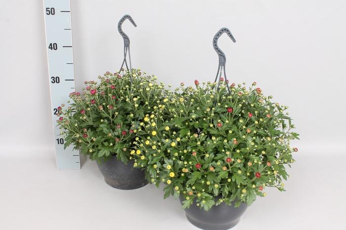<h4>Hangpot 23 cm Chrysanthemum gardenmum  Trio</h4>