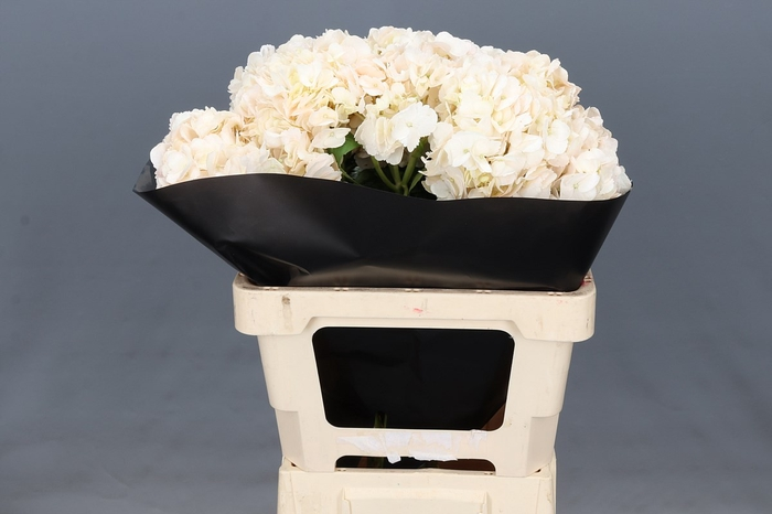 <h4>Hydrangea Creamy Blush Select</h4>