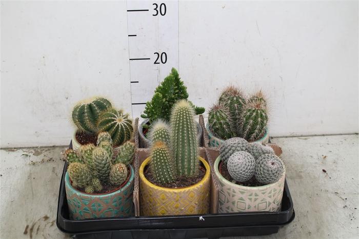 <h4>Cactus Gemengd In Durango Keramiek</h4>