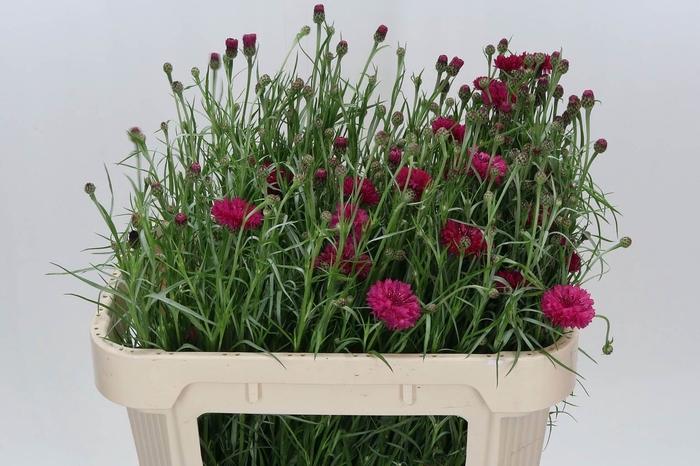 <h4>Centaurea Cyanus Pink</h4>