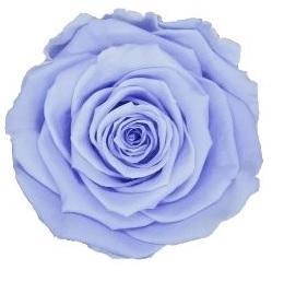 <h4>Rose stab. XL vio-89</h4>