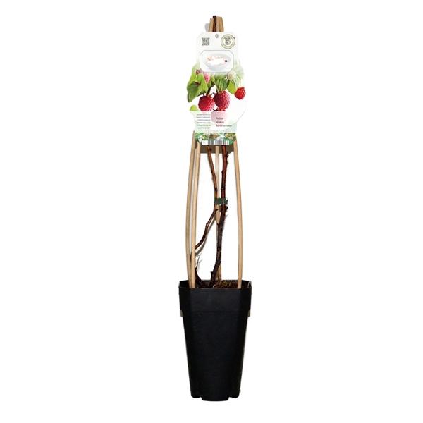 <h4>Rubus id. schonemann</h4>