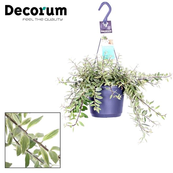 <h4>Aeschynanthus Bolero Bicolore</h4>
