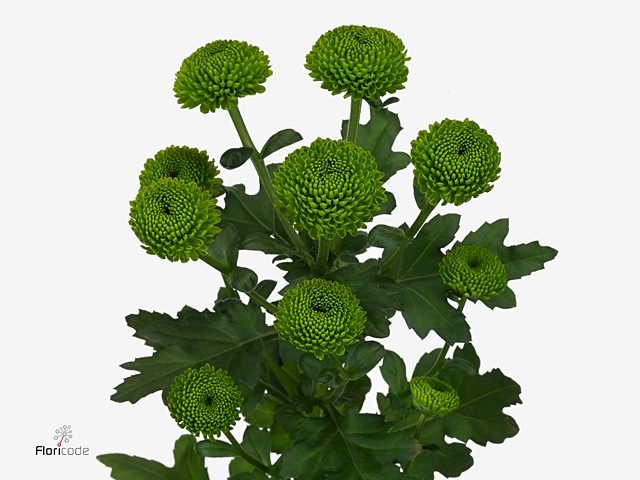<h4>Chrysanthemum spray code green</h4>
