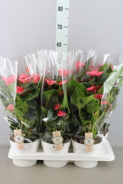 <h4>Anthurium andr. 'Pink Champion'</h4>