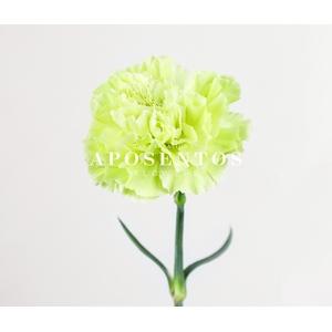 Clavel verde Fancy (APOSENTO)