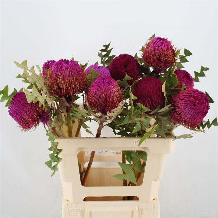 <h4>Banksia Baxteri Pink</h4>