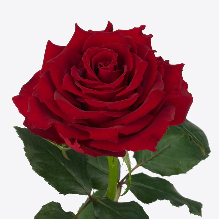 <h4>Rosa Gr. Rhodos</h4>