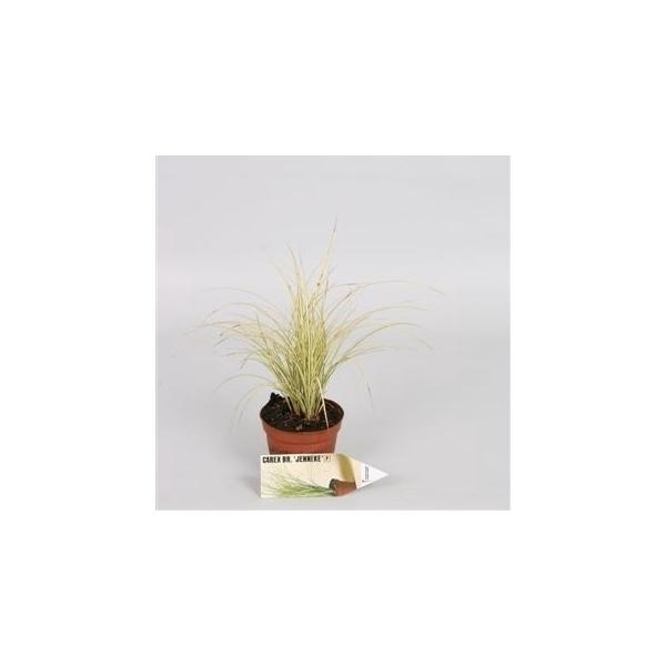 <h4>Carex brunnea Jubilo</h4>