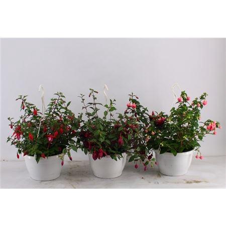 <h4>Fuchsia Gemengd</h4>