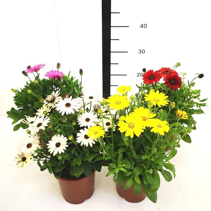 <h4>Osteospermum, Dimorfoteca surtida</h4>
