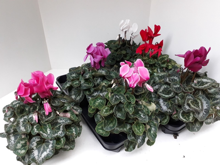 <h4>Cyclamen GRBL Super Serie XL</h4>