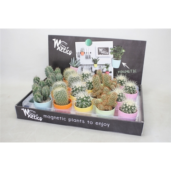 <h4>Cactus mix 5,5 cm. in mc netics kleur potjes</h4>