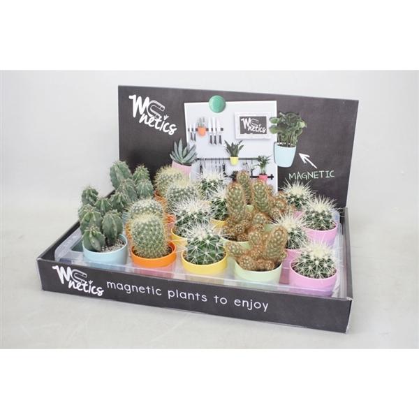 <h4>Cactus gemengd In magneetpotjes kleur</h4>
