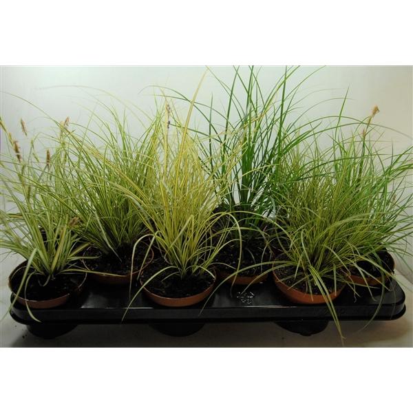 <h4>Carex mix p10,5</h4>
