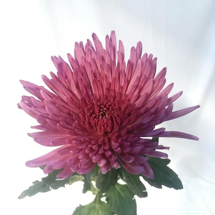 <h4>Chrysanthemums Anastasia Purple</h4>