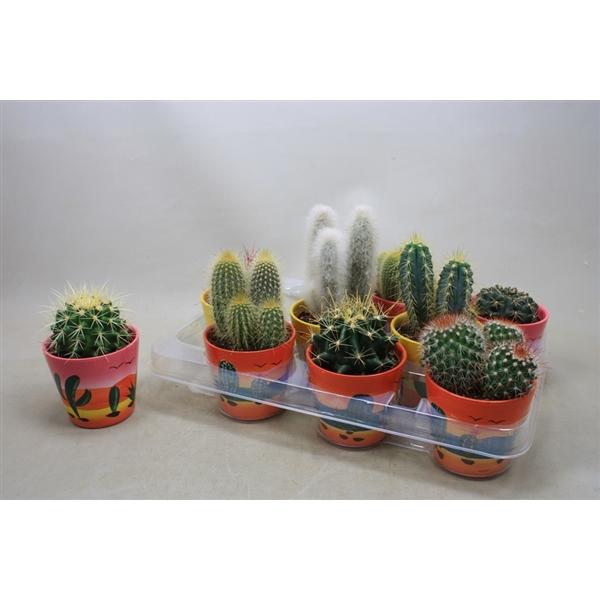 <h4>Cactus mix 8,5 cm. in decor potjes</h4>