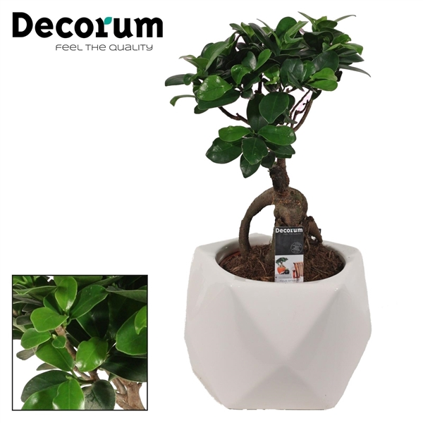 <h4>Ficus Microcarpa Ginseng geënt 12 cm in Nevada wit (Decorum)</h4>