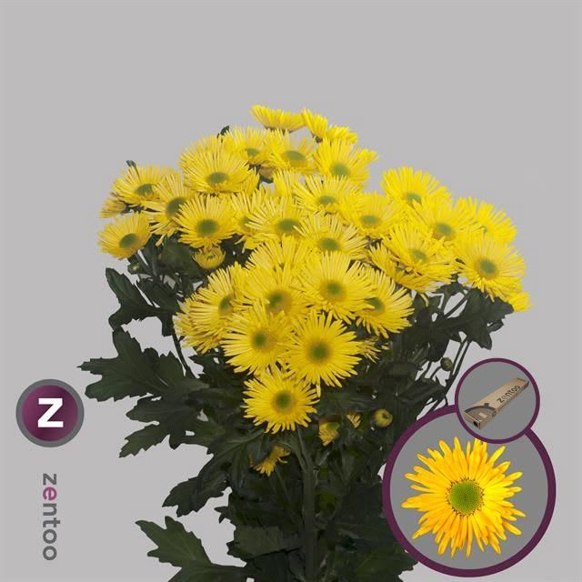 <h4>Chrysanthemum TR 'Korona'</h4>