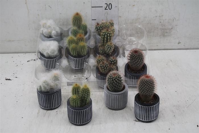 <h4>Cactus Gemengd Keramiek Stripe</h4>