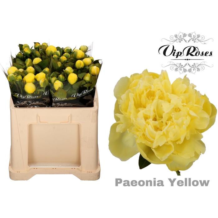 <h4>PAEONIA YELLOW</h4>