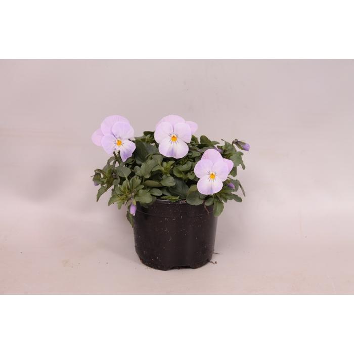 <h4>Viola cornuta sixpack F1 Pink Lavender</h4>