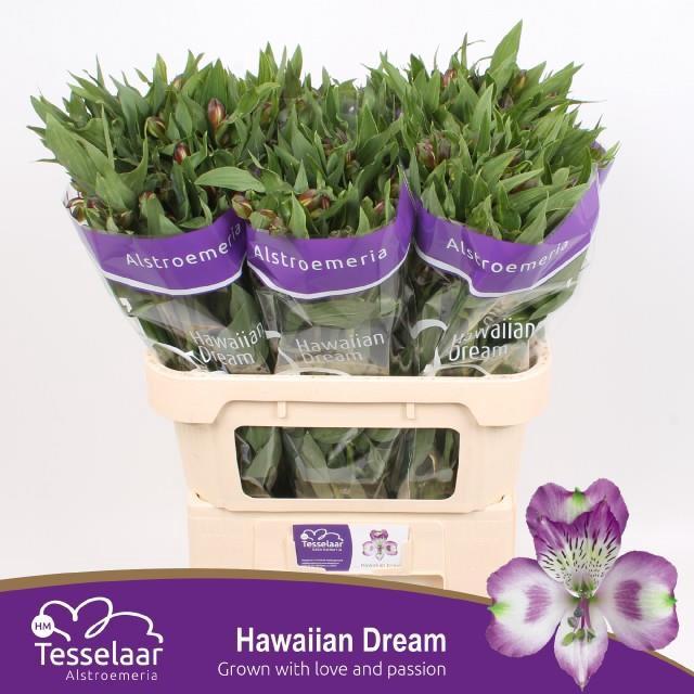 <h4>Alstro. Hawaian Dream</h4>