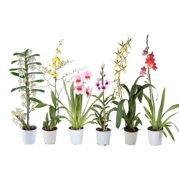 <h4>Orchidee mix 1t</h4>