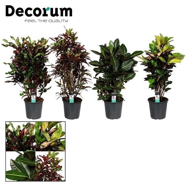 <h4>Croton vertakt gemengd (Decorum)</h4>