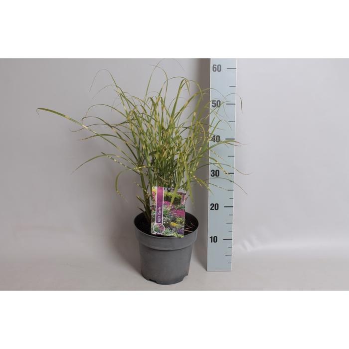 <h4>vaste planten 19 cm  Miscanthus Zebreinus</h4>
