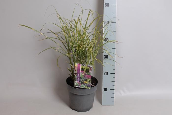 vaste planten 19 cm  Miscanthus Zebreinus
