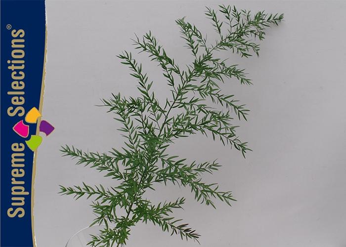 <h4>Asparagus Cwebe</h4>